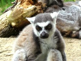 This lemur is not drunk, by musicsuperspaz