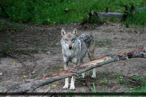 European Wolf 283 by Canisography