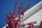 Pink Blossoms Against the Blue Sky by CJayS