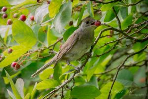Blackcap (Sylvia atricapilla) by OliverBPhotography