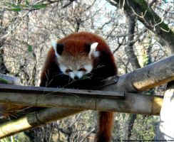 Red panda X by Cansounofargentina