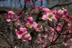 2014-04-20 Spring Dogwood 05 by skydancer-stock