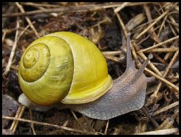 Yellow White-lipped snail by Pildik