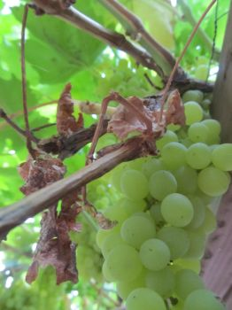 Grapes by juliaGENOCIDE