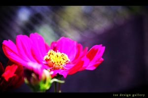 pink_flower by iso-50