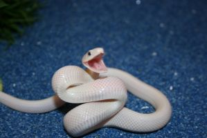 leucistic texas rat snake by boakid