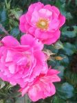 Roses roses by abelia2