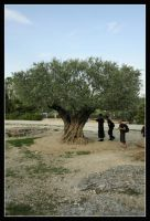 Olive Tree by einzig