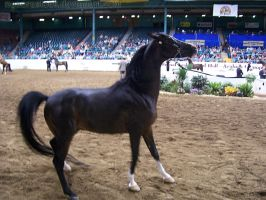 US Nationals - Halter 24 by Nyaorestock