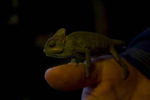 Chameleon by drzack69