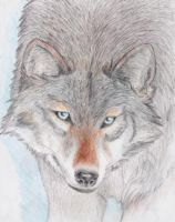 Icy wolf glare by bexb