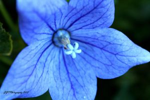 Blue Flower by GGCPhotography