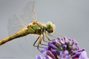 Dragonfly 5 by jochniew
