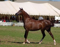 TW Arab livchestnut walking ears pricked by Chunga-Stock
