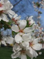 apple blossom 07 by CotyStock