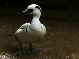 Duck-Day Smew by webcruiser