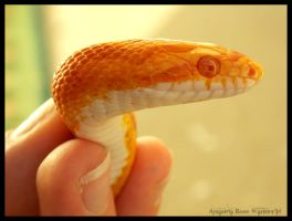 Sunglow Motley Corn Snake by TheBumbleRaven