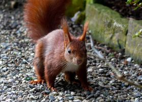 Red squirrel - sciurus vulgaris by TheFunnySpider