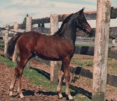 Storm As a Foal by ILoveCP