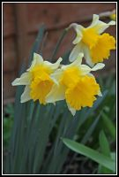 Narcissus 2 by lizzyr