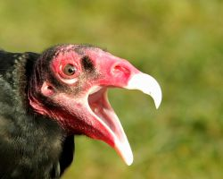 Turkey Vulture by queegqueg