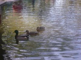 Ducks in the Pond by SquirrelWitch