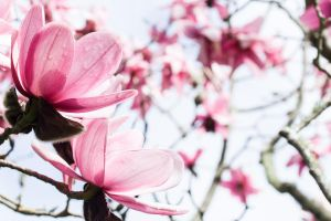 A Touch of Magnolia by Once-Around-the-Sun