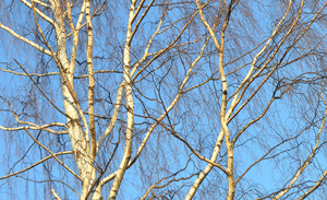 Blue Skies And White Tree by FranticMezmer