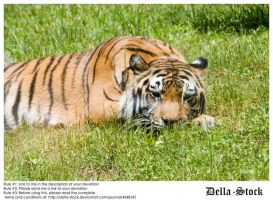 Tiger Laying Down by Della-Stock