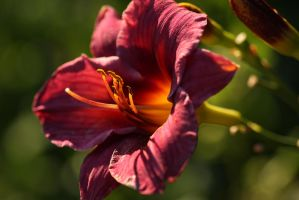 Deep Red Lily - I by froggynaan