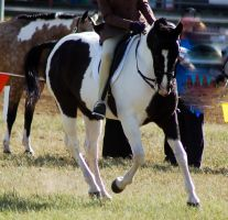 Paint canter front on by Chunga-Stock