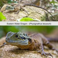 Eastern Water Dragon by BeauNestor