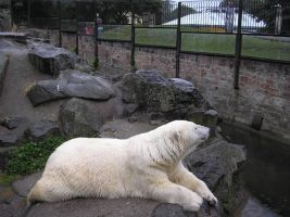 zoo images - polar bear by Tasastock