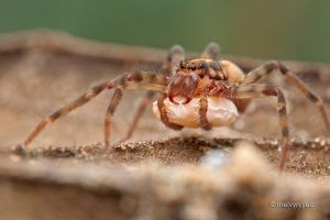 Huntsman spider with egg sac by melvynyeo