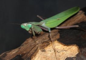 male congo mantid by ENRAGEDBAKU