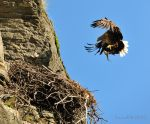 White-Tailed Eagle comes home with fish ! by SindreAHN