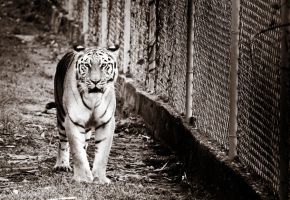 Bengal tiger 4 by PhaipherGirl