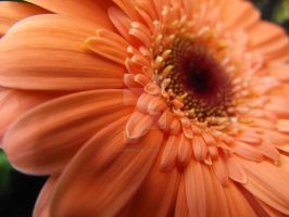 Pink Daisy 2 by Eisoptrophobic