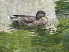 Duck on the water by PhotographicJaydiee