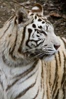 5551 - White tiger by Jay-Co