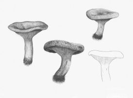 Paxillus involutus (sketches) by Thea-Nu