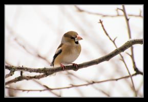 Another hawfinch by Rajmund67