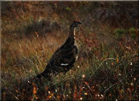 Black grouse in sundown. by Ryoo-09