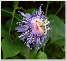 Passion Flower by songofabanshee