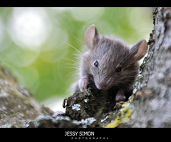 Little Mouse by Jessysimon