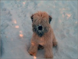 wheaten pup in snow by Lou-in-Canada