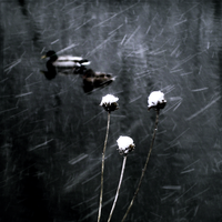 Snow Ducks by intao
