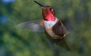 Hummingbird IV by PamplemousseCeil