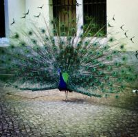 Pavo by apll123