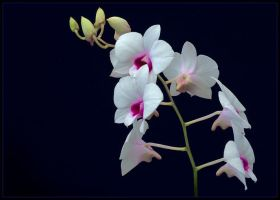 ORCHIDS 12 by THOM-B-FOTO